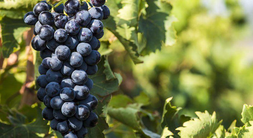 Şaraplık Üzüm İhracatından Şarap Üretimine
